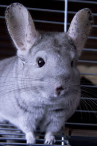 Chinchilla Carriers and Travel Cages
