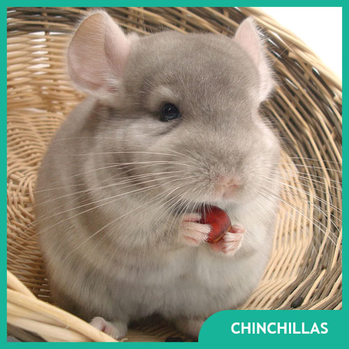 Chinchilla Supplies