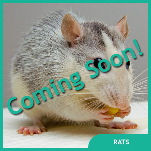 Rat Pet Supplies