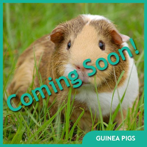 Guinea Pig Pet Supplies