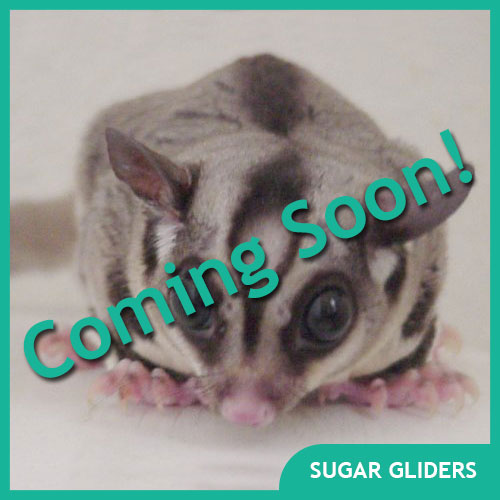 Sugar Glider Pet Supplies