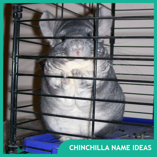 Names for Chinchillas (Male, Female, & Pairs)