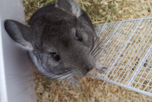Chinchilla Bedding and Litter