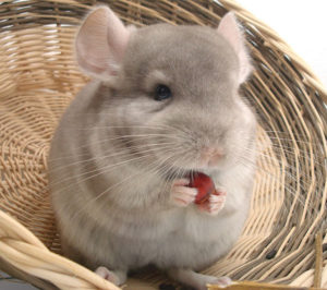 Chinchilla Food and Diet