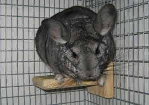 Chinchilla Ledges and Shelves for Cages