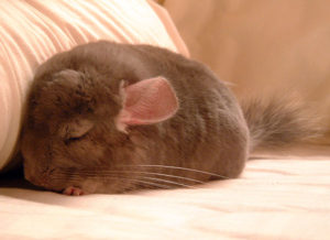 When Should a Chinchilla Go to the Vet?