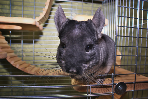 Best Chinchilla Cages - Selecting a Safe Cage