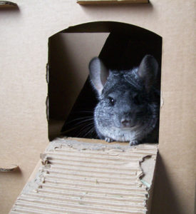 Chinchilla Cardboard House