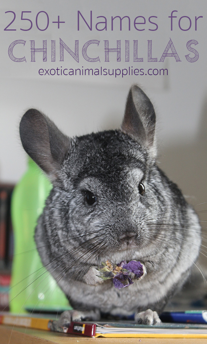 250+ Names for Chinchillas (Male, Female, & Pairs)
