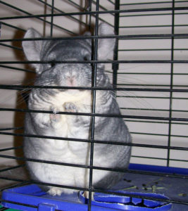 Names for Chinchillas
