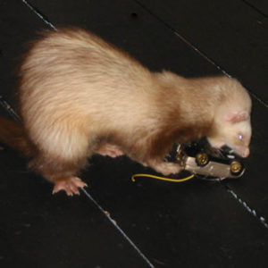 Safe Materials for Ferret Toys