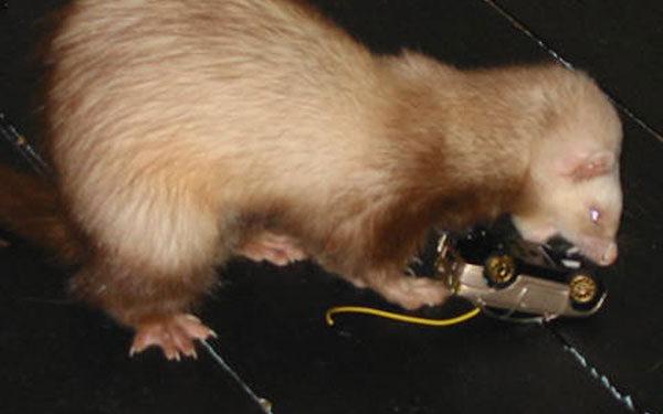 Ferrets Archives - Exotic Animal Supplies c06e0595b416