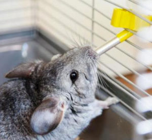 How to Keep a Chinchilla Cool