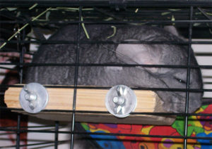 Overheating Chinchilla After Play Time