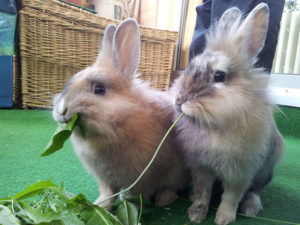Rabbit Diet for Young Bunnies