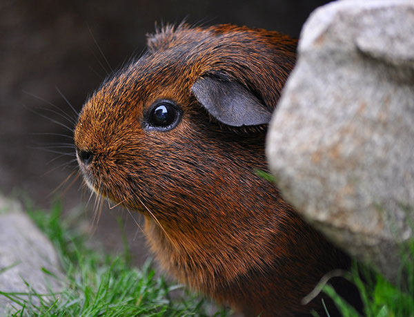 Female Guinea Pig Names - Exotic Animal Supplies-7197