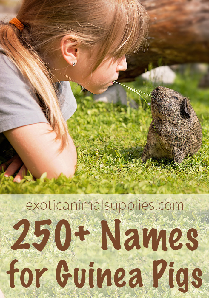250+ Names for Guinea Pigs - Male, Female & Pairs