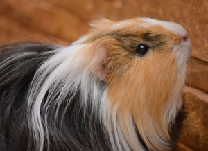Male Guinea Pig Names