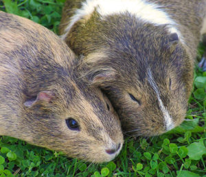 Names for Guinea Pigs