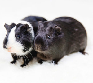 Names for Guinea Pig Pairs