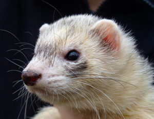 400 names for ferrets male female pairs exotic animal supplies