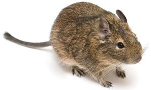How to Find a Vet for your Degu