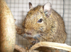 Female Names for Degus