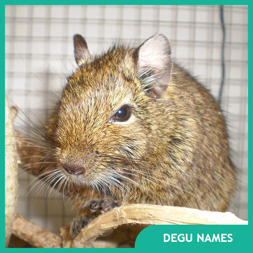 Names for Degus