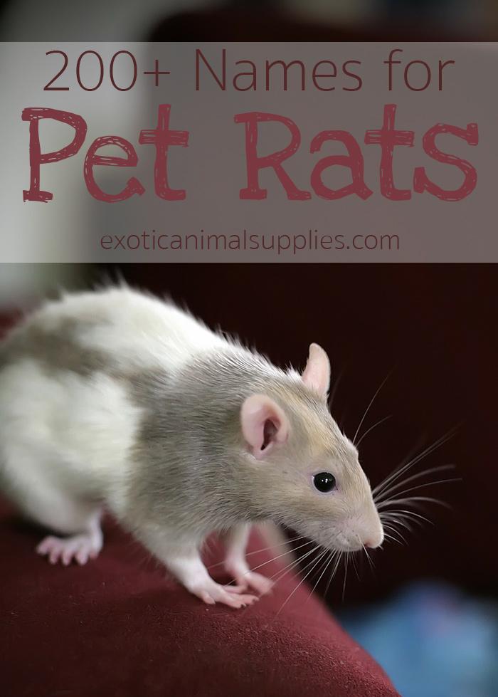 Pet Rat Names - Male, Female, & Pairs