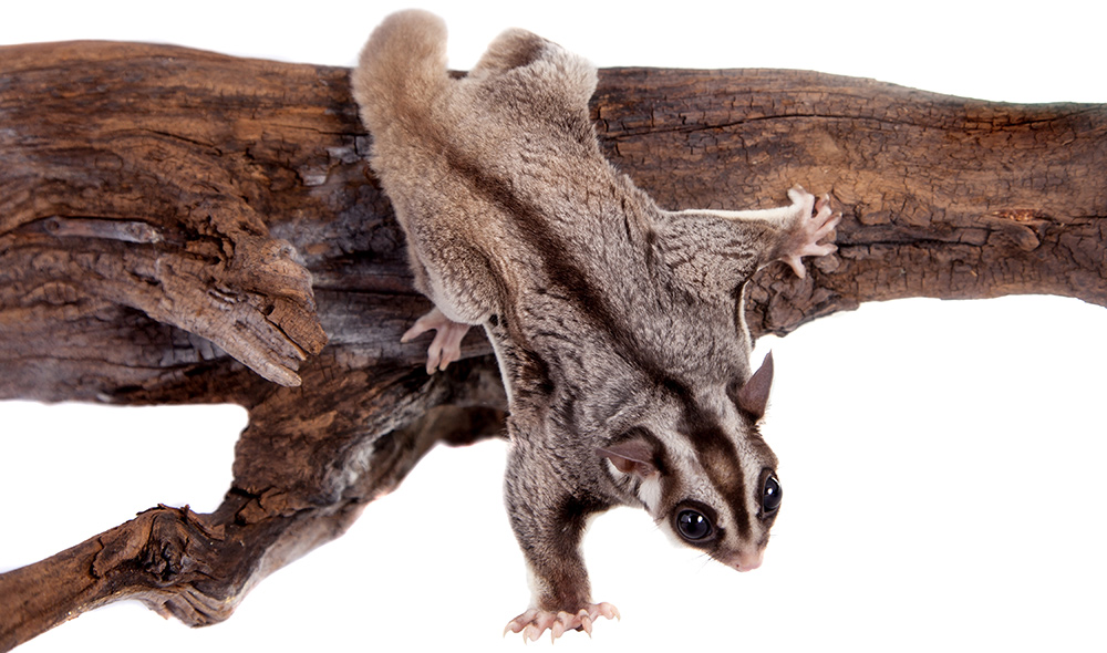 Sugar Glider Names - Pet Name Ideas Male & Female