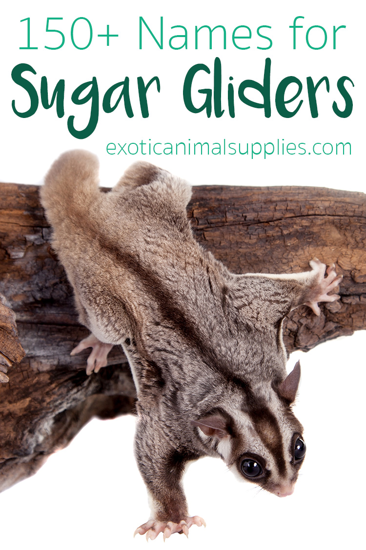 150+ Sugar Glider Names - Male and Female Name Ideas