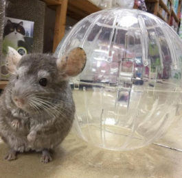 Dangerous Chinchilla Exercise Balls