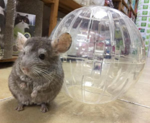 10 Things You Should Never Buy Your Pet Chinchilla - Exotic