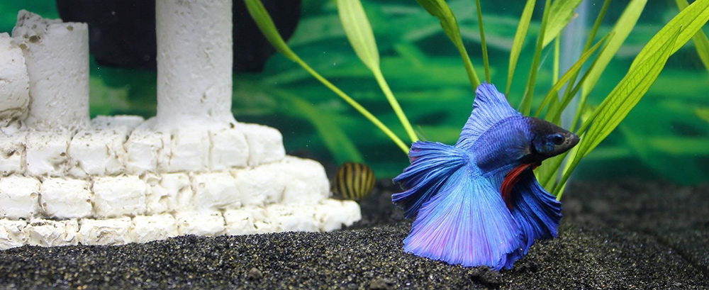 Blue Betta Fish Names
