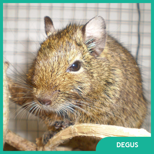 Degu Pet Supplies
