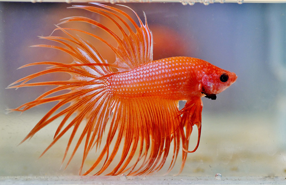 Names for Orange Betta Fish