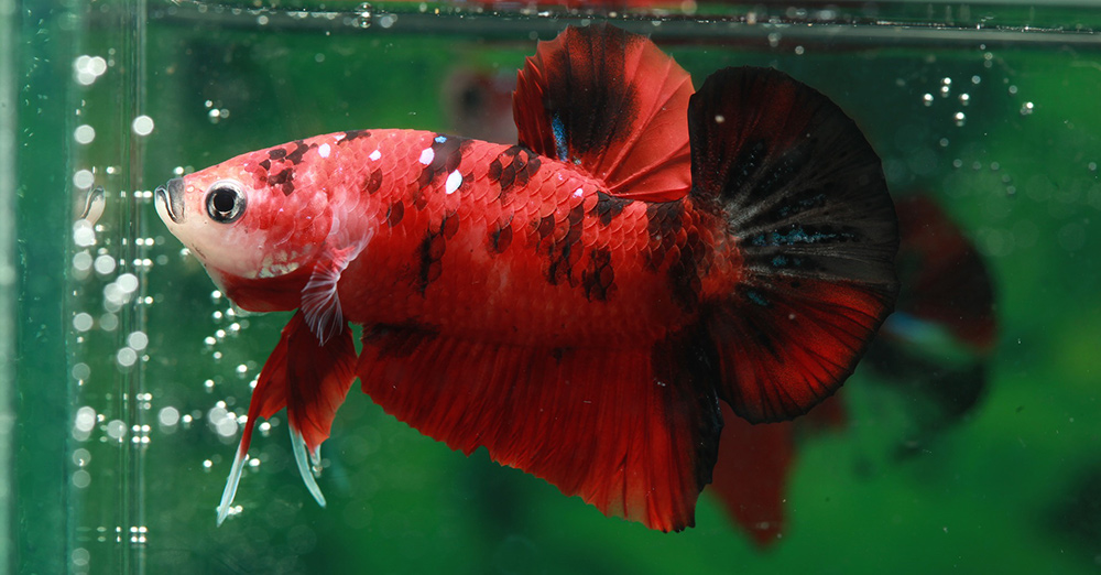 Red Betta Fish Names