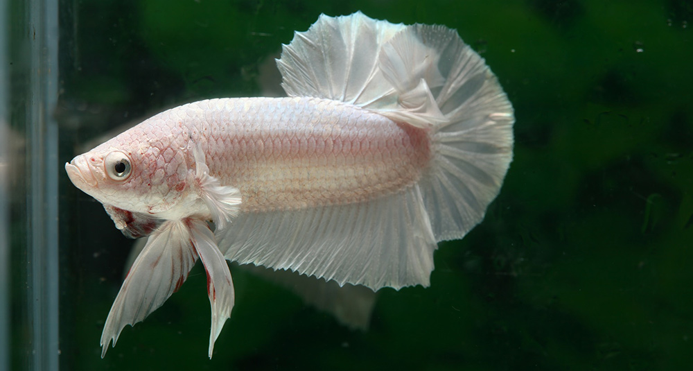 White Betta Fish Name Ideas