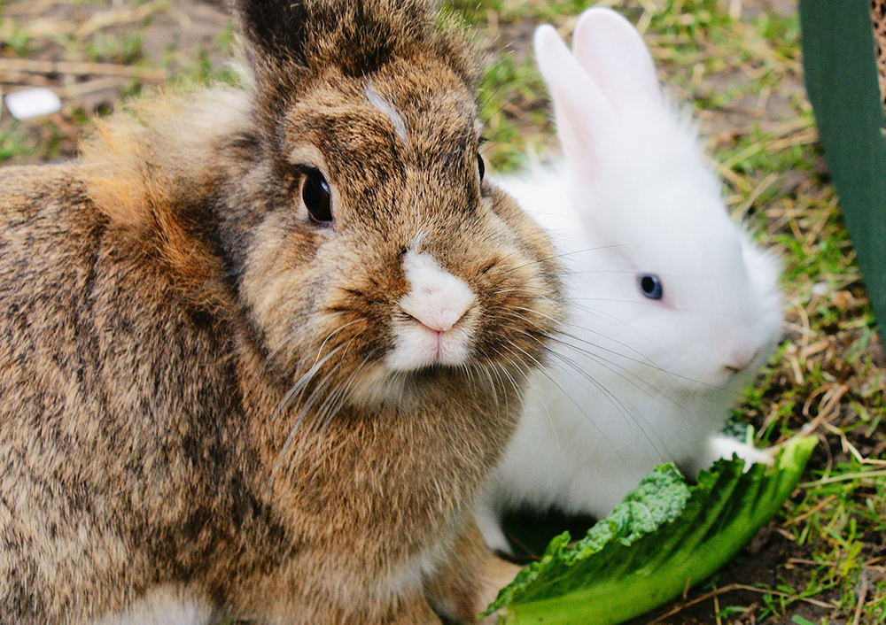How to Grow Fresh Greens for Your Rabbit