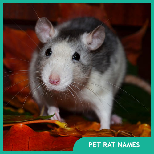 Pet Rat Names - Male, Female, Pairs