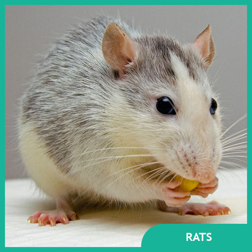 Pet Rat Supplies, Cages, and Accessories