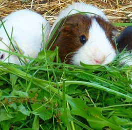 Grow Guinea Pig Food in Your Garden