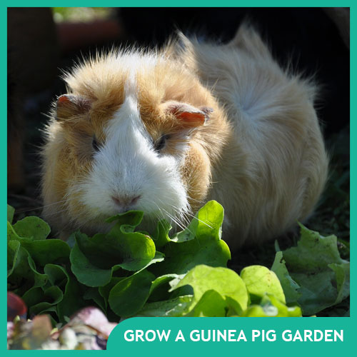 Plant a Guinea Pig Garden: Food You Can Grow for Your Pet Cavy