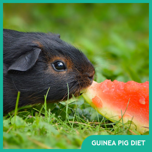Guinea Pig Food: Cavy Diet & Nutrition