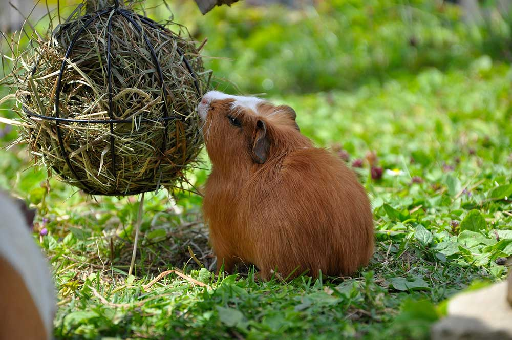 Best Hay for Guinea Pigs Healthy Diet