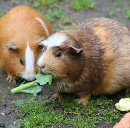 Healthy Veggies & Fruits for Guinea Pigs