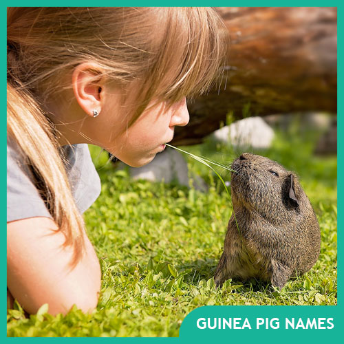 250+ Names for Guinea Pigs – Male, Female & Pairs