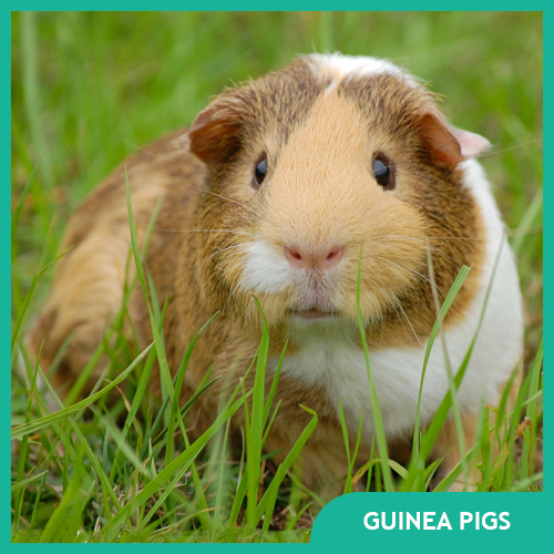 Guinea Pigs Pet Supplies