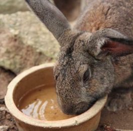 Rabbit Water Crock Dish